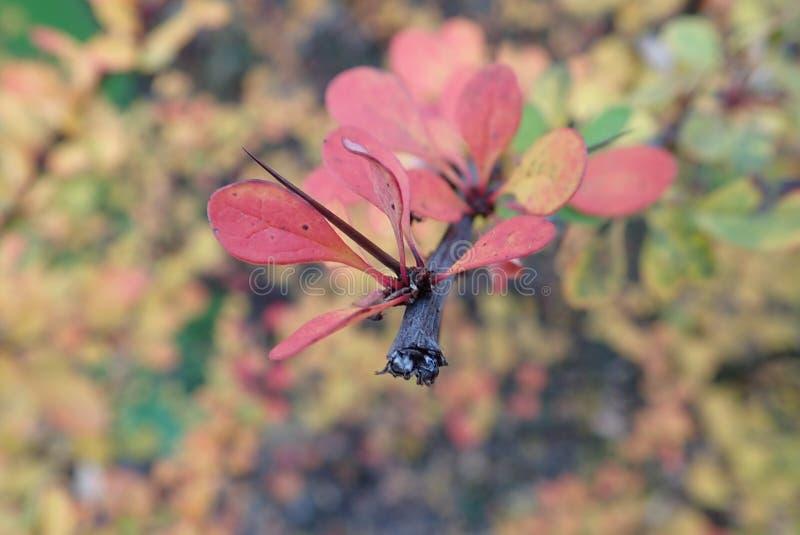 Rama colorida de un arbusto con pequeño leavesin el otoño fotografía de archivo libre de regalías