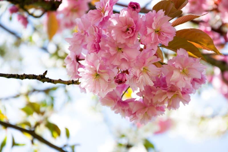 Rama con el fondo brillante de los flores del rosa imagenes de archivo