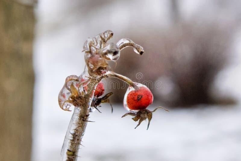 Rama con la baya salvaje cubierta en hielo claro después de lluvia sobrefundida fotografía de archivo libre de regalías