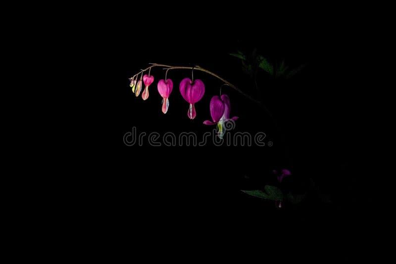 Rama con la floraci?n de las flores rosadas brillantes e inusuales el coraz?n quebrado La naturaleza de la primavera en abril Fon imagenes de archivo
