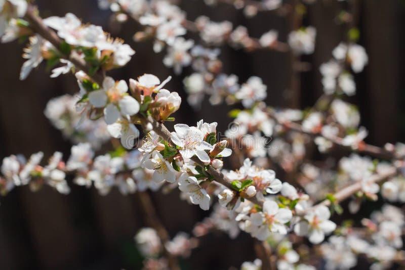 rama con las flores blancas en un ?rbol joven en el jard?n, tiempo de la cereza de primavera fotografía de archivo