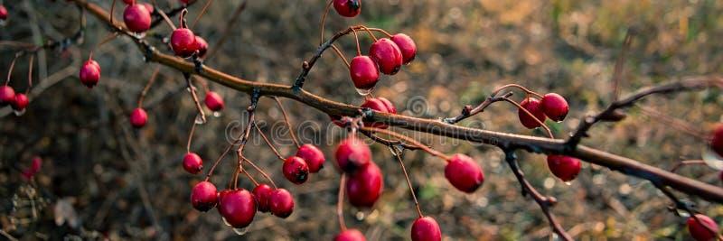Rama con las frutas rojas del espino Bandera para el diseño imagenes de archivo