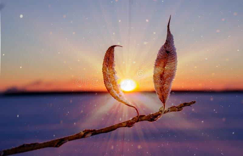 Rama con las hojas secas en la puesta del sol en un día escarchado fotos de archivo