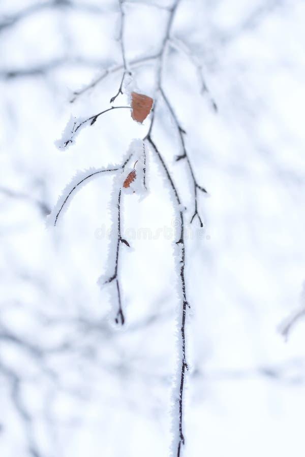 Rama congelada cubierta con helada fotografía de archivo libre de regalías