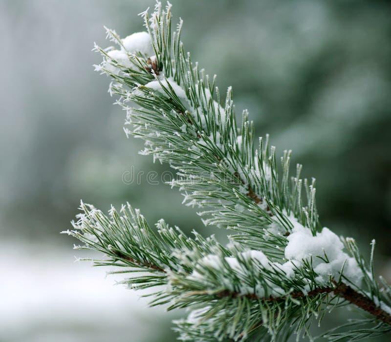 Rama congelada de las espinas dorsales del árbol de pino cubiertas con el bosque de la helada por mañana de niebla del invierno fotos de archivo