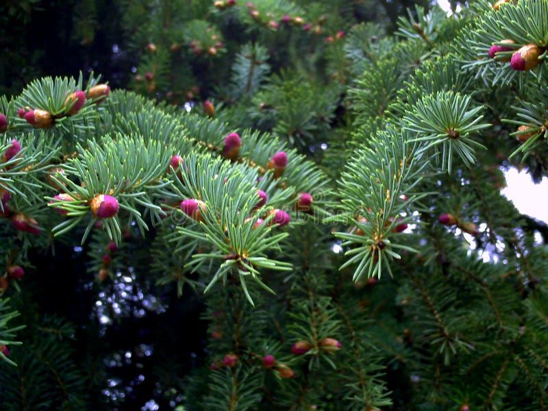 Rama de árbol de abeto con nuevos conos Conos de abeto rojos jovenes en la rama fotos de archivo libres de regalías