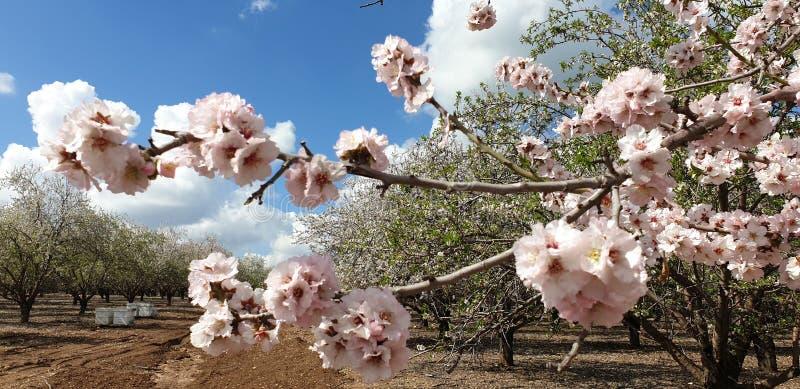 Rama de árbol de almendra de florecimiento en una huerta cerca de Jerusalén, Israel imágenes de archivo libres de regalías