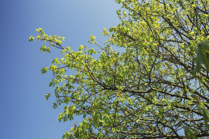 Rama de árbol de castaña en el cielo azul foto de archivo