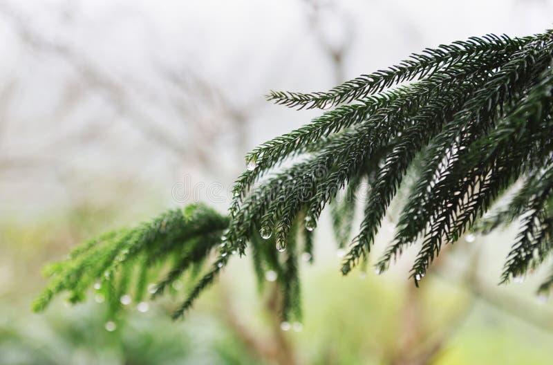 Rama de árbol de coníferas con gotas de lluvia imagen de archivo libre de regalías