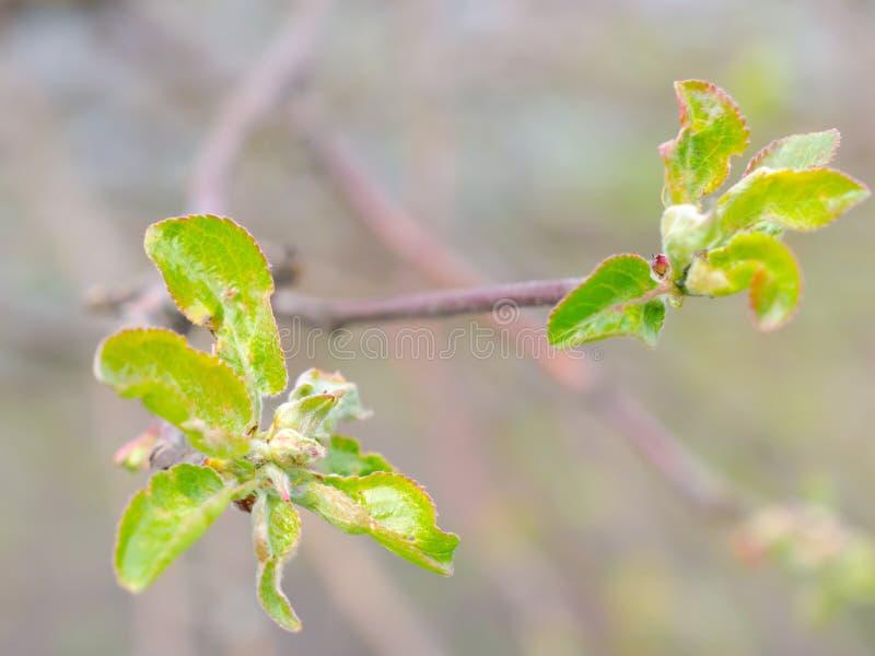 Rama de árbol con las pequeños hojas y primer verdes de los brotes imagenes de archivo
