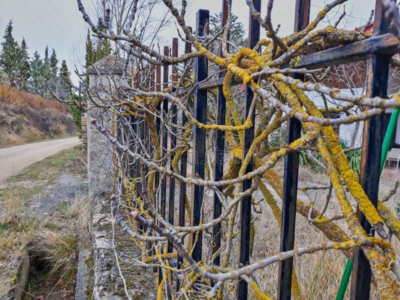 Rama de árbol con los liquenes amarillos arraigados en una cerca oxidada imágenes de archivo libres de regalías