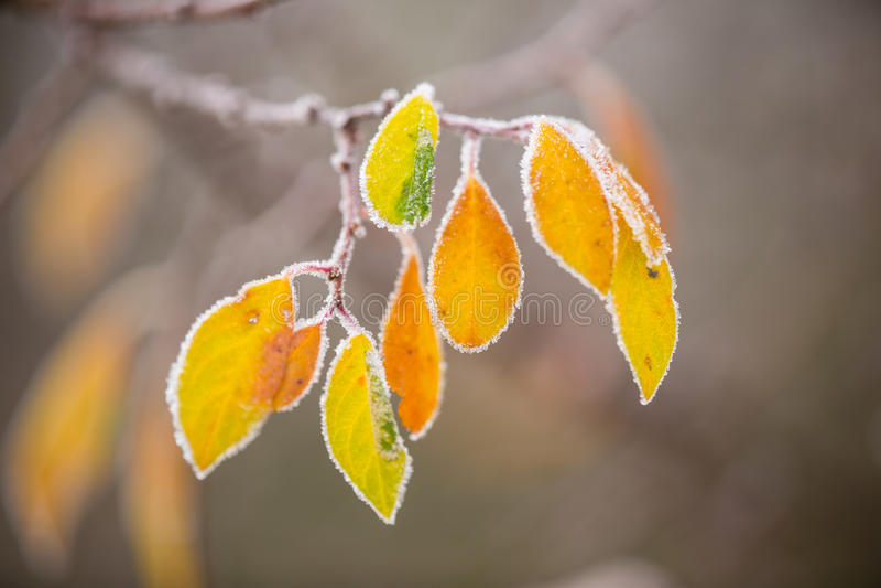 Rama de árbol congelada hermosa y hojas anaranjadas brillantes imagen de archivo libre de regalías