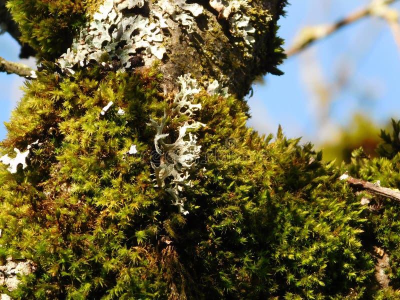 Rama de árbol cubierta de musgo en un día de enero foto de archivo libre de regalías