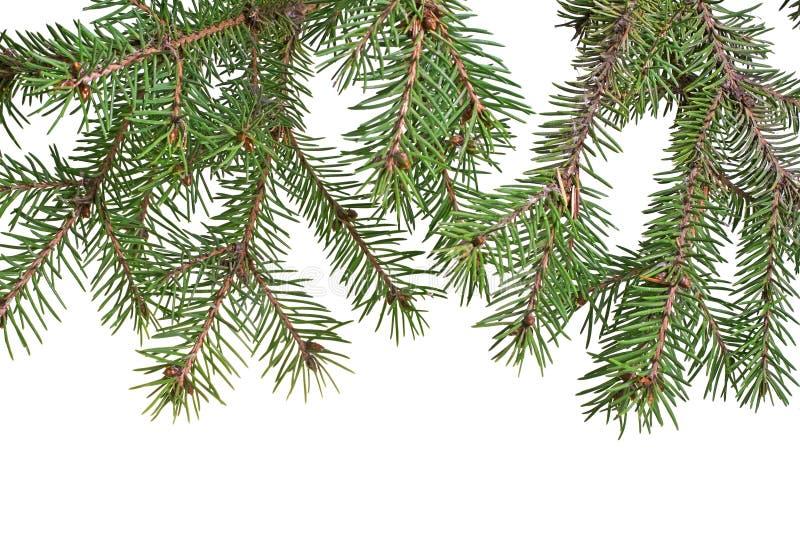 Rama de árbol de navidad foto de archivo libre de regalías