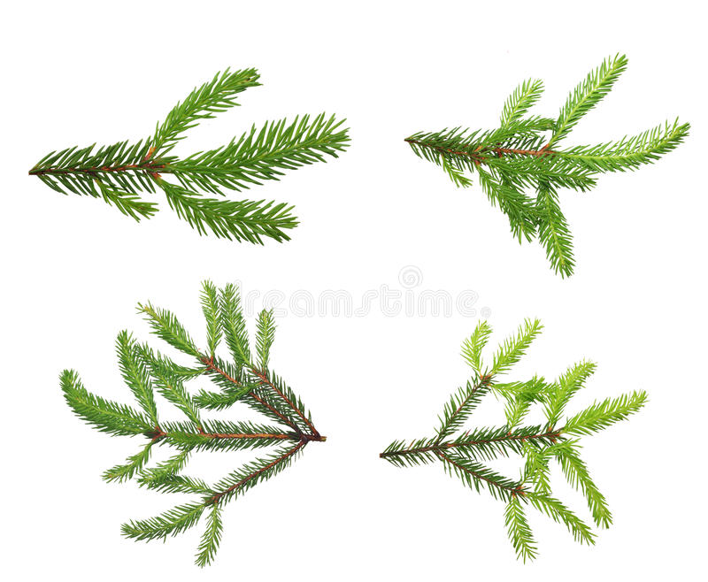 Rama de árbol de pino. fotografía de archivo