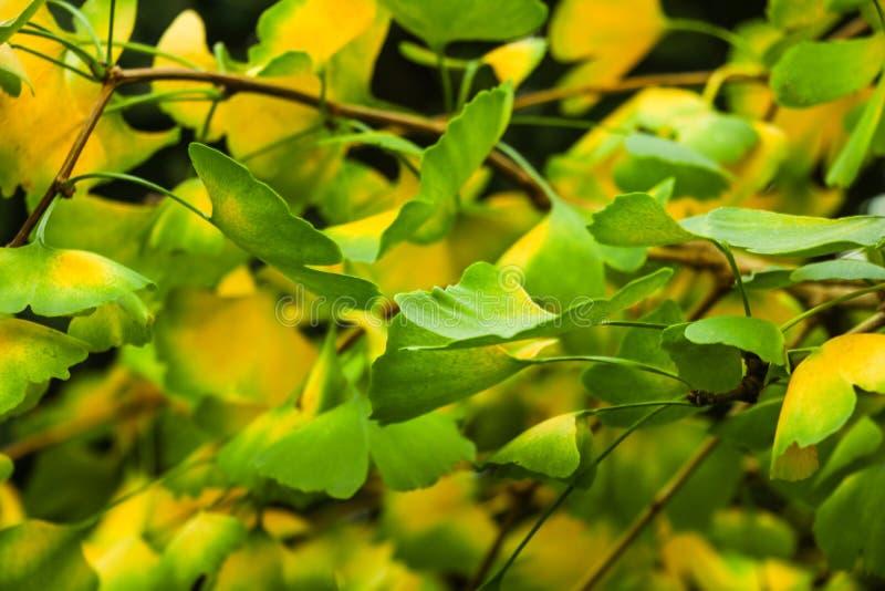 Rama de árbol del biloba del Ginkgo con las hojas contra fondo verde enorme fotos de archivo