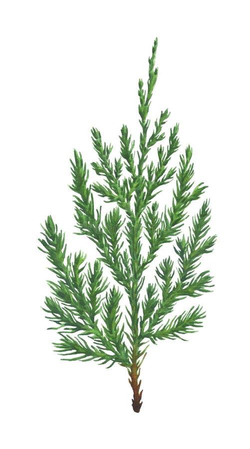 Rama de árbol del enebro de la acuarela aislada en blanco libre illustration
