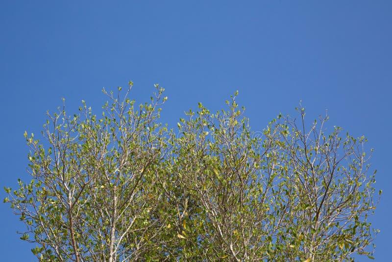 rama de árbol en la estación de primavera foto de archivo libre de regalías