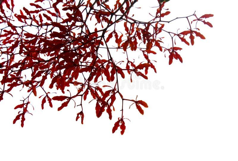 Rama de árbol en un fondo blanco fotos de archivo