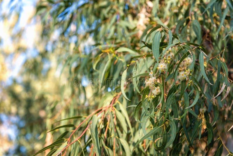 1 572 Eucalipto Medicinal Fotos Libres De Derechos Y Gratuitas De Dreamstime