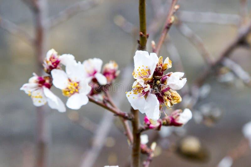 Rama de árbol floreciente con las pequeñas flores imagenes de archivo