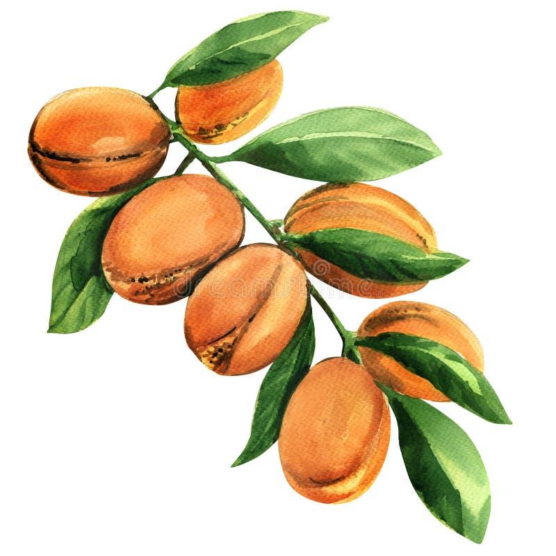 Rama de árbol fresca del argan con las frutas aisladas, ejemplo de la acuarela libre illustration
