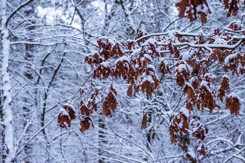 Rama de árbol grande por completo de las hojas del roble marrón cubiertas en la nieve, fondo del bosque de la estación del invier imágenes de archivo libres de regalías