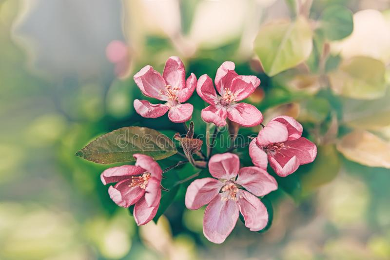 Rama de árbol de la primavera con las pequeñas flores rosadas Copie el espacio Vintage teñido de cristal fotos de archivo libres de regalías
