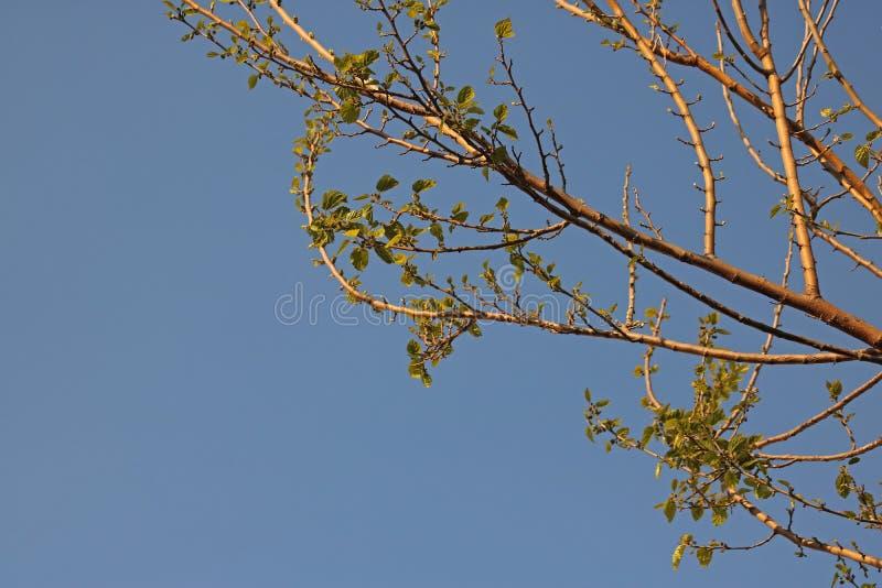 Rama de árbol de mora que elimina las nuevos hojas y lanzamientos en primavera imagen de archivo libre de regalías
