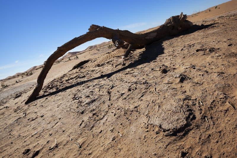 Rama de árbol muerta del Tamarisk en el desierto del Sáhara. fotos de archivo libres de regalías