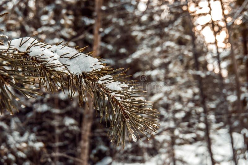 Rama de árbol de navidad nevada fotos de archivo