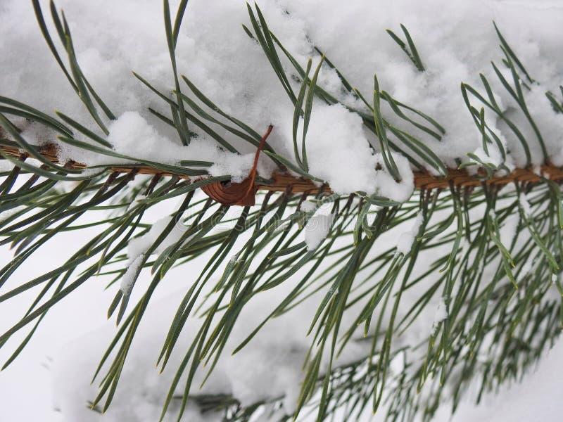 Rama de árbol nevosa hermosa de pino, Lituania fotos de archivo libres de regalías