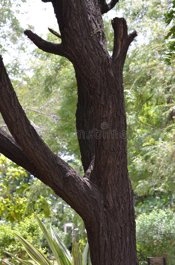 Rama de árbol de Nim fotografía de archivo