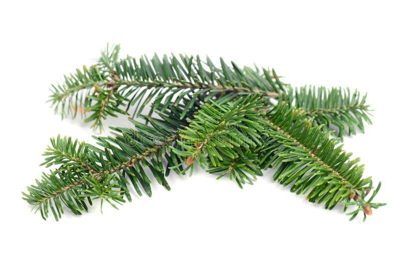Rama de árbol de pino fotografía de archivo