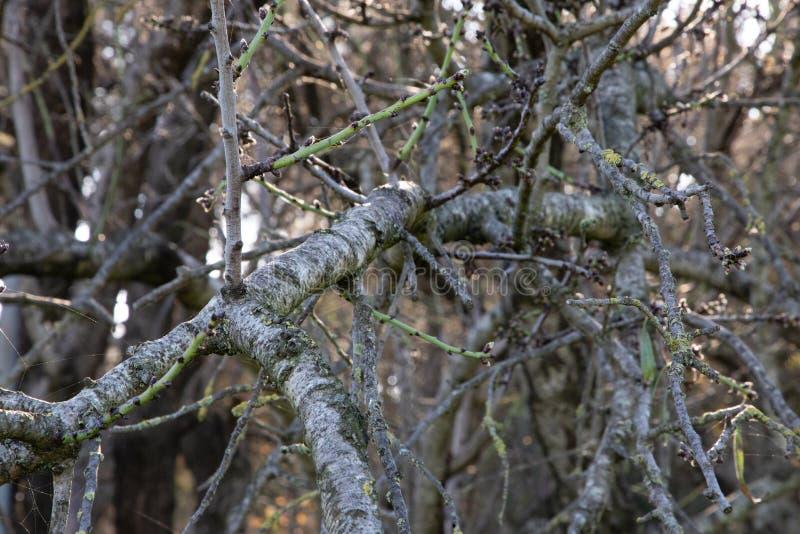Rama de árbol sin las hojas y las web de araña imagen de archivo libre de regalías