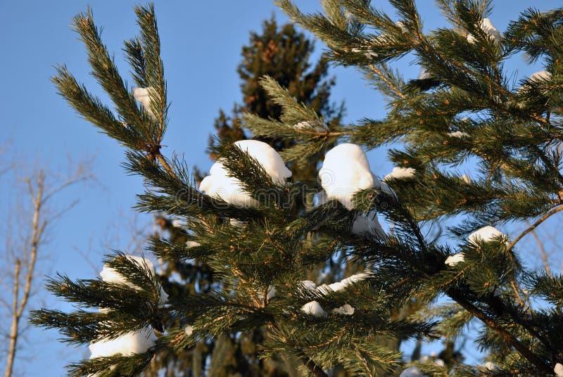 Rama de árbol verde de abeto con nieve imagen de archivo