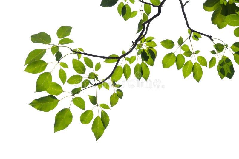 Rama de árbol verde aislada imagen de archivo libre de regalías