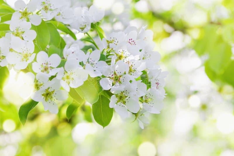 La Rama De La Primavera De La Lila Florece  El Fondo