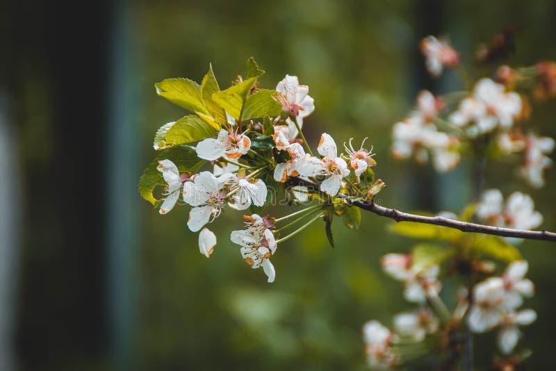 Rama de Cherry Blossom fotografía de archivo libre de regalías