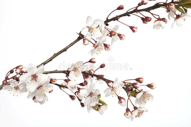 Rama de Cherry Blossom foto de archivo libre de regalías