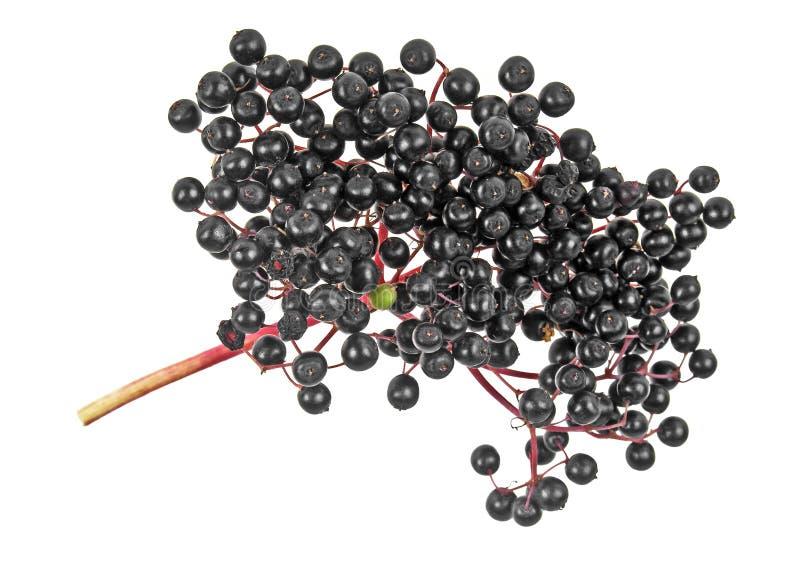 Rama de Elderberry aislada en un fondo blanco fotografía de archivo