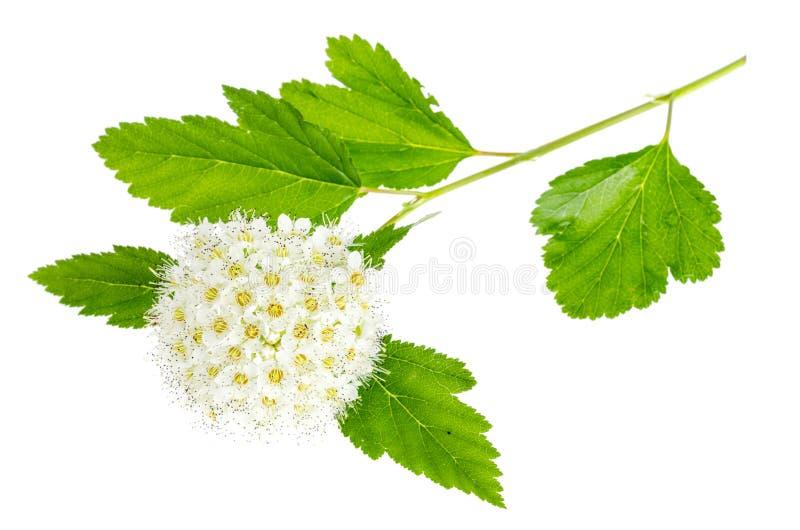 Rama de florecimiento con la inflorescencia mullida blanca, aislada en blanco imagenes de archivo