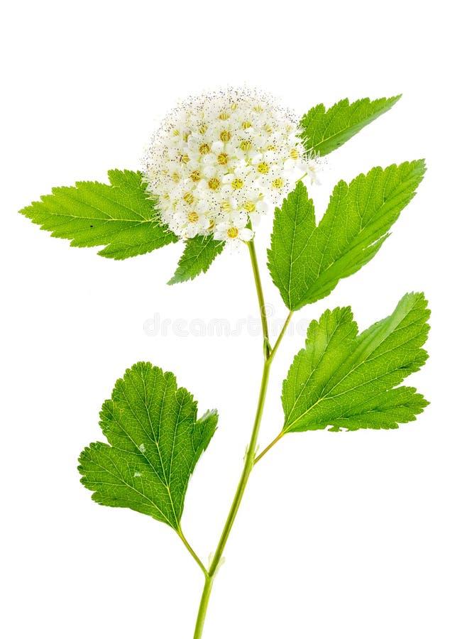 Rama de florecimiento con la inflorescencia mullida blanca, aislada en blanco fotografía de archivo libre de regalías