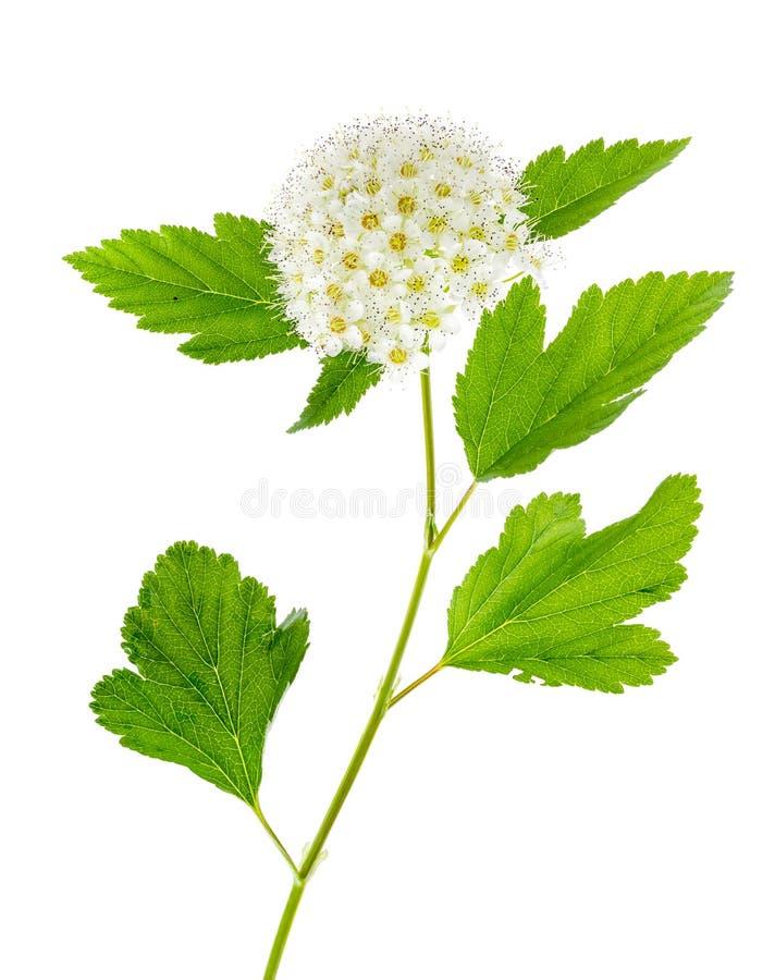 Rama de florecimiento con la inflorescencia mullida blanca, aislada en blanco imágenes de archivo libres de regalías
