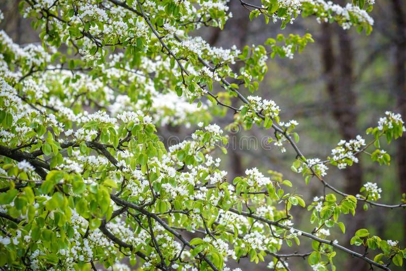 Rama de flores blancas apacibles de una pera Fondo de Nanture foto de archivo libre de regalías