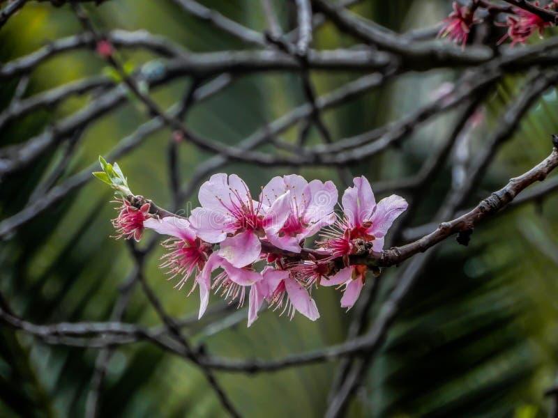 Rama de flores rosadas del melocotón foto de archivo