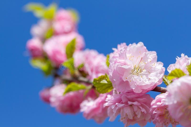 Rama de flores sakura florecientes imágenes de archivo libres de regalías