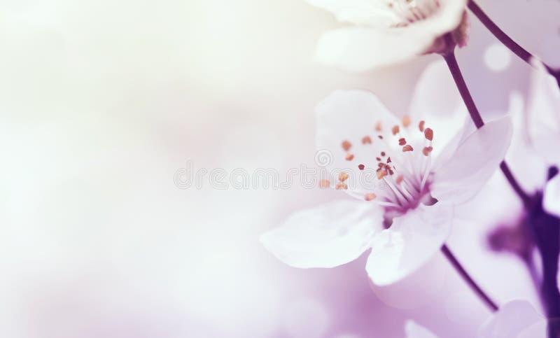 Rama de la cereza en flor foto de archivo