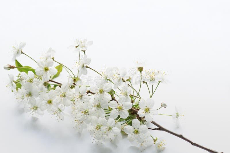 Rama de la cereza floreciente en un fondo blanco foto de archivo libre de regalías