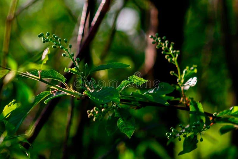 Rama de la cereza de pájaro con las hojas jovenes imágenes de archivo libres de regalías
